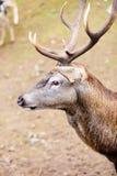 Rood hertenmannetje op weide royalty-vrije stock foto's
