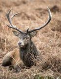 Rood hertenmannetje in Richmond Park-landschap tijdens het rutting overzees royalty-vrije stock afbeeldingen