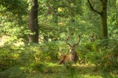 Rood hertenmannetje tijdens sleurseizoen stock foto's