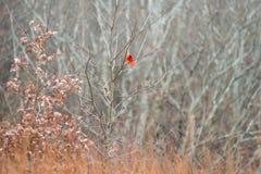 Rood Hoofdbird fluttering zijn Staart binnen in Winterse Vegetatie i royalty-vrije stock foto's