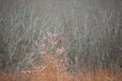 Rood Hoofdbird standing uit in Winterse Vegetatie in Bruin Co stock foto's