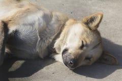 Rood Husky Sled Dog Stock Foto