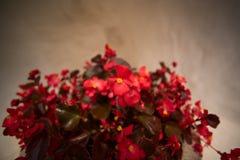 Rood Impatiens-valeriaan stock afbeelding