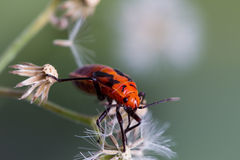 Rood insect Royalty-vrije Stock Fotografie