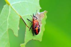 Rood insect Stock Afbeeldingen
