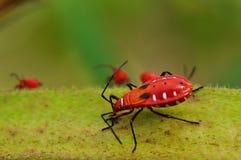 Rood insect het voeden voedingsmiddel op okra. Stock Fotografie