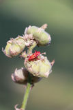 Rood insect op droog blad Stock Fotografie