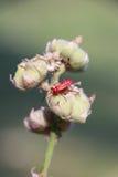 Rood insect op droog blad Stock Afbeeldingen
