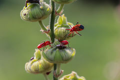 Rood insect op droog blad Royalty-vrije Stock Fotografie