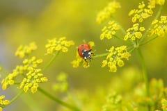 Rood insect op gele bloemen Royalty-vrije Stock Foto