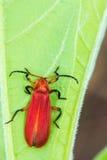 Rood insect op groen blad Royalty-vrije Stock Foto's