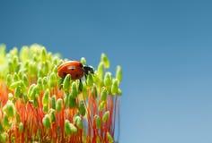 Rood insect op groen mos Stock Afbeeldingen