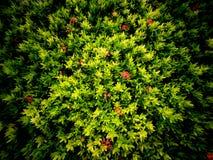 Rood Jasmine Flower Trees Growing stock foto