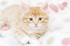 Rood katje in een gekleurde mand, Siberische kat bij twee maanden Stock Afbeelding