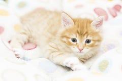 Rood katje in een gekleurde mand, Siberische kat bij twee maanden Stock Foto's