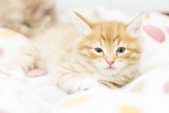 Rood katje in een gekleurde mand, Siberische kat bij twee maanden Stock Fotografie