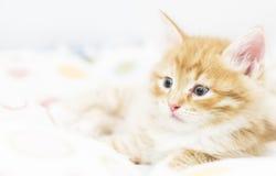 Rood katje in een gekleurde mand, Siberische kat bij twee maanden Royalty-vrije Stock Foto
