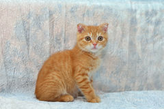 Rood katje op blauwe achtergrond Stock Afbeelding