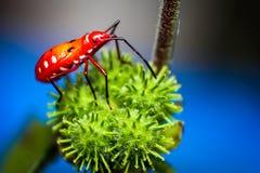 Rood Katoen Bevlekt Insect Stock Afbeelding