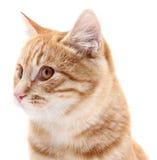 Rood kattenportret op witte achtergrond Royalty-vrije Stock Foto's