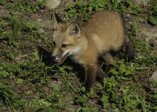 Rood Kit Fox Exploring His Environment royalty-vrije stock afbeelding