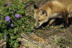 Rood Kit Fox Exploring Surroundings stock afbeeldingen