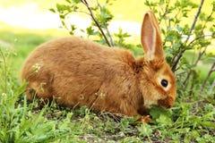 Rood konijn stock fotografie