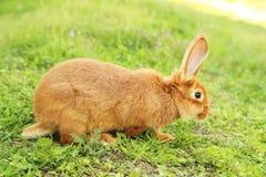 Rood konijn Stock Foto