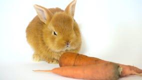 Rood konijn met de wortelzitting op een witte achtergrond stock video
