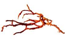 Rood Koraal Royalty-vrije Stock Afbeelding