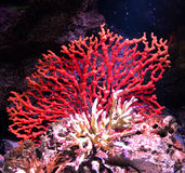 Rood koraal royalty-vrije stock fotografie