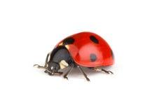 Rood lieveheersbeestje Stock Foto