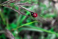 Rood lieveheersbeestje op blad royalty-vrije stock afbeeldingen
