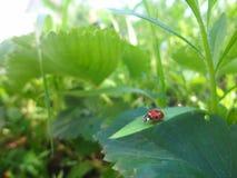 Rood lieveheersbeestje op blad in glanzend zonlicht Lieveheersbeestje in garder backgr stock foto