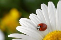Rood lieveheersbeestje op bloem Stock Afbeeldingen