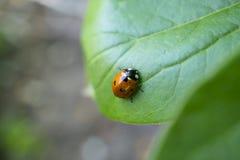 Rood lieveheersbeestje op de groene bladeren Stock Afbeeldingen