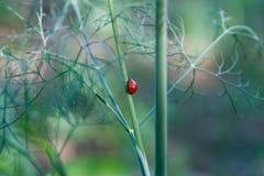 Rood Lieveheersbeestje op een dille Royalty-vrije Stock Foto
