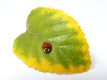 Rood lieveheersbeestje op het blad Stock Foto