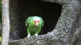 Rood-Lored papegaai bij een park in Ecuador stock footage