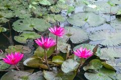 Rood Lotus in het meer Royalty-vrije Stock Fotografie