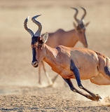 Rood meest hartebeest lopend close-up Royalty-vrije Stock Foto