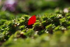 Rood membraan in succulent royalty-vrije stock afbeelding