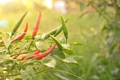 rood met groene Spaanse peperpeper op een boom van Spaanse peperpeper op aard Royalty-vrije Stock Foto's