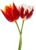 Rood met sinaasappel en rood met witte tulpen Royalty-vrije Stock Afbeelding