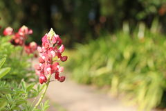 Rood met witte bloemen, Lupine-bloemen Royalty-vrije Stock Foto