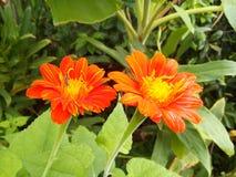 Rood Mexicaans zonnebloemonkruid stock fotografie