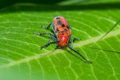 Rood Milkweed-Insect royalty-vrije stock fotografie