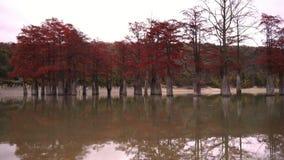 Rood moerascipressen en meer, de herfstachtergrond bewolkte dag stock video