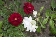 Rood nam binnen rosengarden toe stock foto's