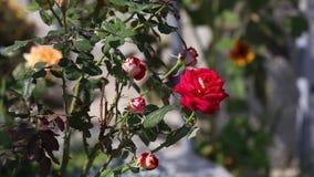 Rood nam bloem in de roze tuin toe stock video